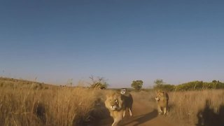 George & Yame's journey! | The Lion Whisperer - Video