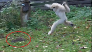 Gibbons chase away intrusive rat from enclosure - Video