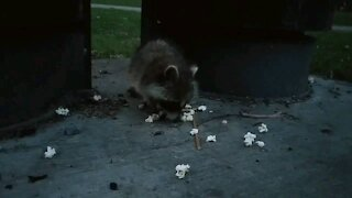 Cute little raccoon eating popcorn