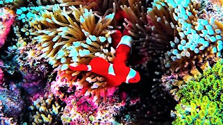 Beautiful clown fish swim safely among very deadly tentacles