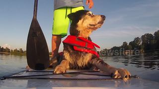 Dog goes paddle boarding with her owner - Video
