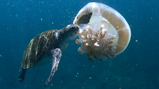 Green Turtles Feast On Jellyfish: SNAPPED IN THE WILD - Video