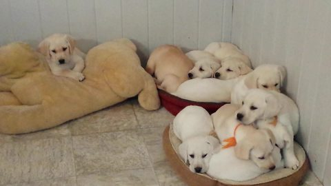 Puppies adorably find the perfect napping spot