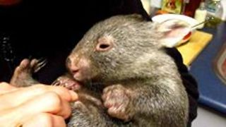 Tiny Orphaned Wombat Arrives at Sanctuary - Video