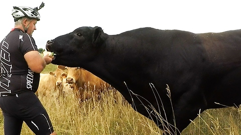 Hungry Bull Steals Cyclist's Sandwich Out Of His Hand