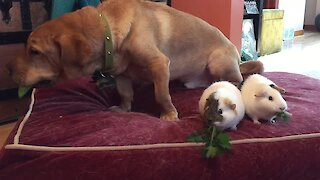 Dog Loves His Guinea Pig Friends And Their Salad Snacks