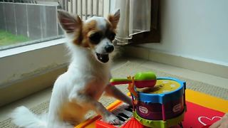 Musical dog plays piano and drums simultaneously - Video