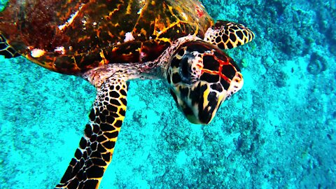 Sea turtle swims down to scuba diver to check out his camera