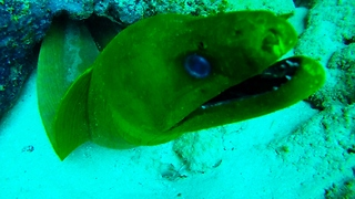 Diver comes dangerously close to giant moray eel - Video
