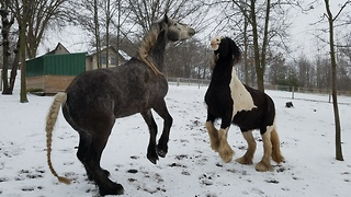 Happy Friesdale horses greet Mom in the morning