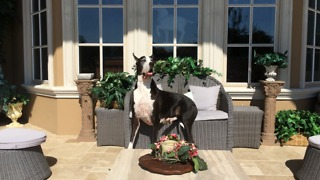 Beautiful Great Dane relaxes on a patio chair - Video