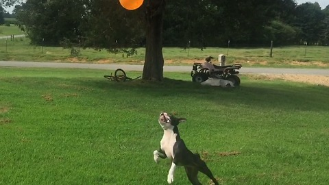 Committed dog flawlessly plays keepy-uppy with balloon