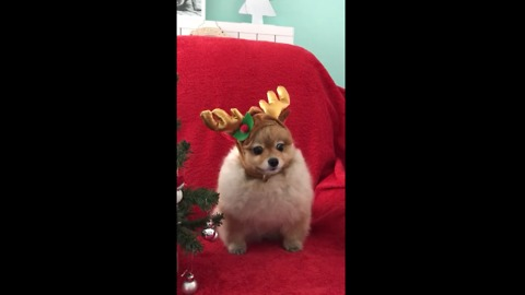 Pomeranian models her adorable holiday outfit