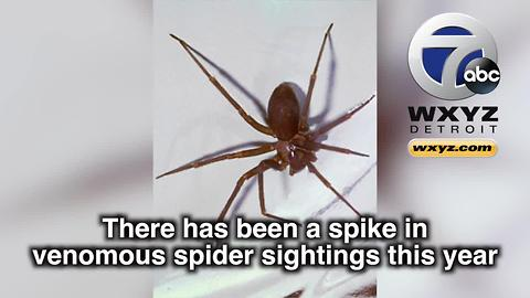 Spike in venomous brown recluse spider sightings reported in Michigan