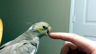 Angry bird disturbed by pointing finger  - Video