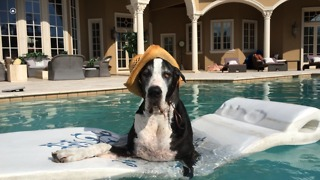 Fashionable Great Dane chills out on pool floatie