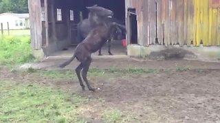 Overly-excited dancing mule slips and wipes out - Video