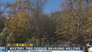 Mystery tree disease ravaging willows - Video