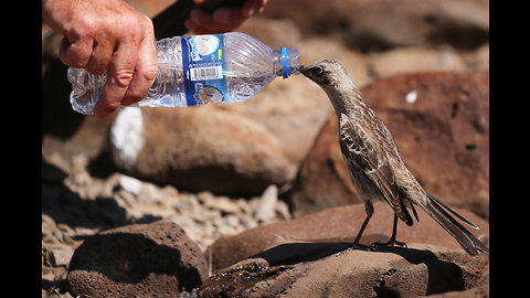 Thirsty mockingbird follows man to beg for drink of water