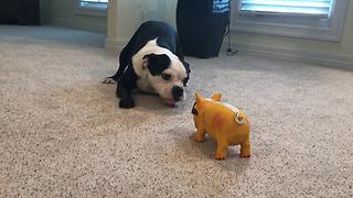 Boston Terrier confuses toy hog for actual animal