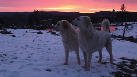 Guard dogs play-fight during breathtaking morning sunrise