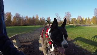 Athletic pit bull dominates military obstacle course - Video