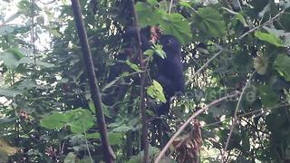 Hungry baby gorilla tumbles off tree while eating - Video