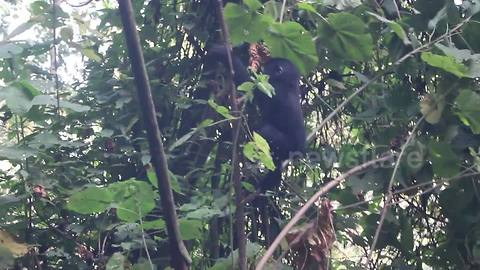 Hungry baby gorilla tumbles off tree while eating