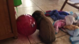 Bunny Plays with Balloon Until It Pops! - Video