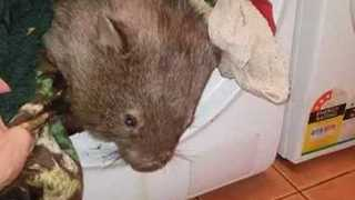 Wombat Takes a Tumble - Video