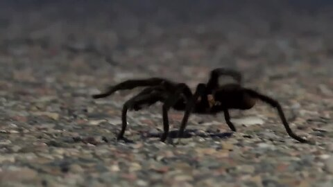 Tarantulas out by the thousands in southeast Colorado for mating season