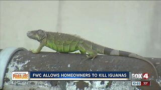 FWC encourages homeowners to kill green iguanas