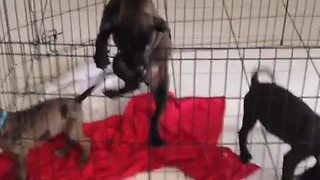 Puppy makes brazen daylight escape from pen - Video