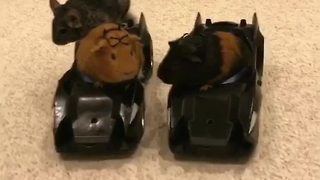 Guinea pigs enjoy joyride in RC Batmobile