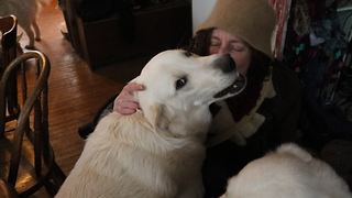 Farm guard dogs lovingly greet owner with kisses - Video
