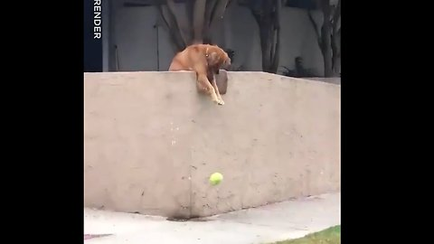 """Dog Drops Ball On Street To Force Strangers To Play With Him And It Works 100% Of The Time!"""" 😂❤️"""