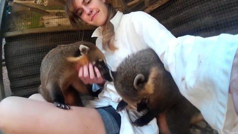 Curious coatis won't leave caretaker alone!