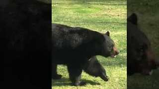 Man Commentates Bear Walking Around His Yard - Video