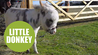 Ottie is the world's littlest donkey at just 19 inches tall - Video
