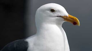 Seagull walks into a store and steals packet of chips