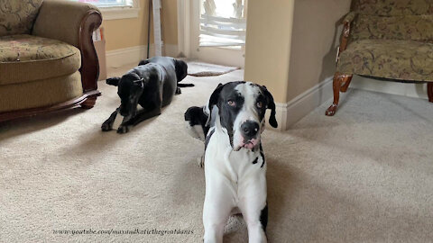 Innocent Great Dane gets caught nibbling on the blinds