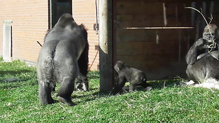 Rowdy Baby Gorilla Gets Disciplined By Dad In Front Of Zoo Visitors - Video