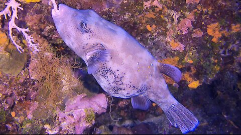 Gigantic pregnant puffer fish munches coral deep beneath the waves