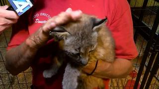 Missing Siberian Lynx returned to zoo - Video