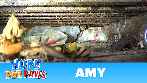 Amy - an injured Chihuahua hiding from rescuers. Find out how YOU can help her today!