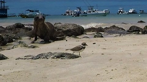 Baby sea lion tries to make friends with little bird on the beach