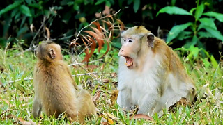 Very Old King Fighting Adult Monkey For Groom Him
