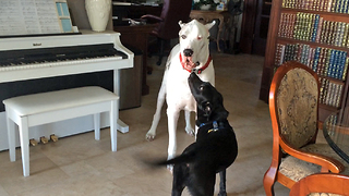 Patient Great Danes tolerate pesky puppies - Video