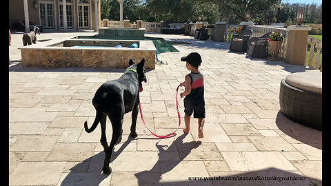 Toddler takes gentle Great Dane for first walk together