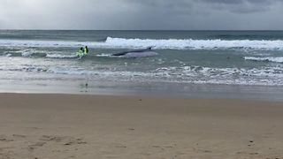 Rescuers Work to Free Humpback Whale Beached at Sawtell - Video